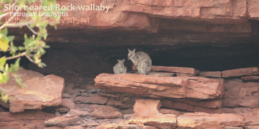 Short-eared rock wallaby female with joey Victoria River Australia