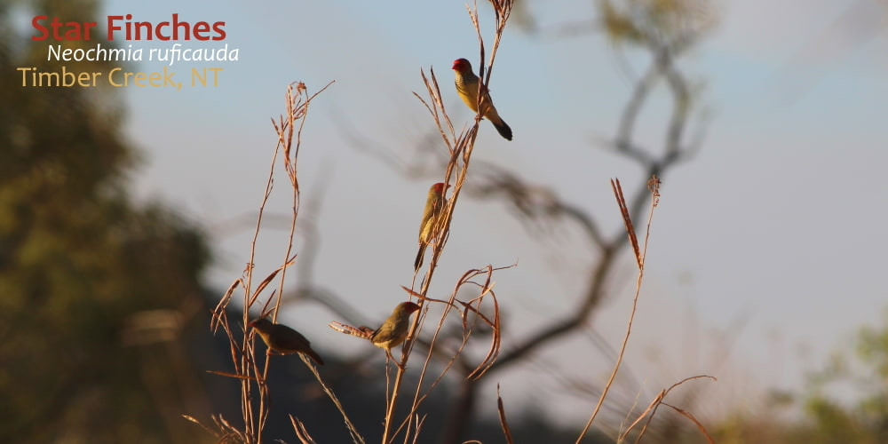 Star Finches on grass stem at dusk