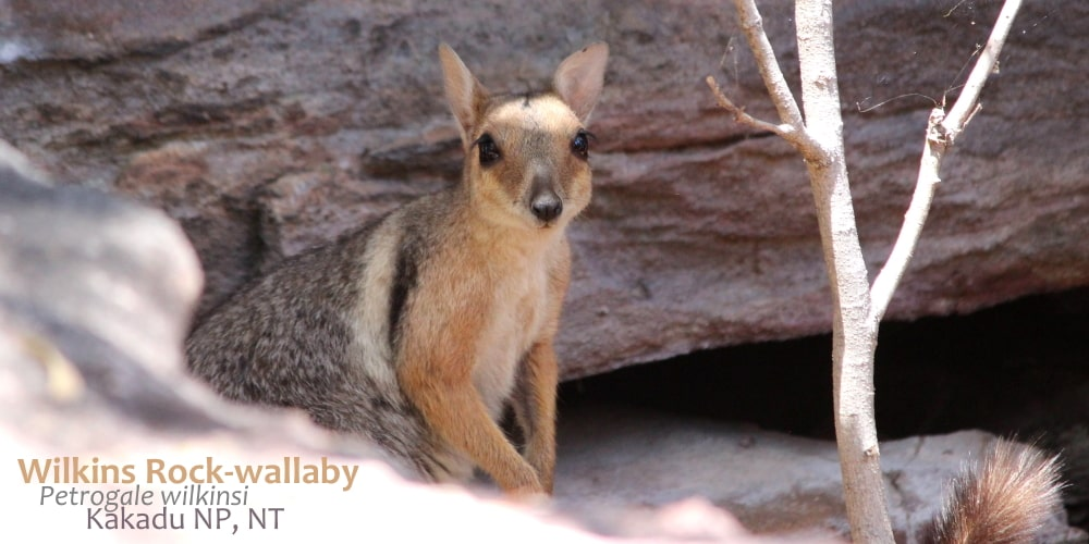 Wilkins Rock-wallaby face Australia