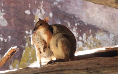 Cool As: Rock-Wallabies of Australia