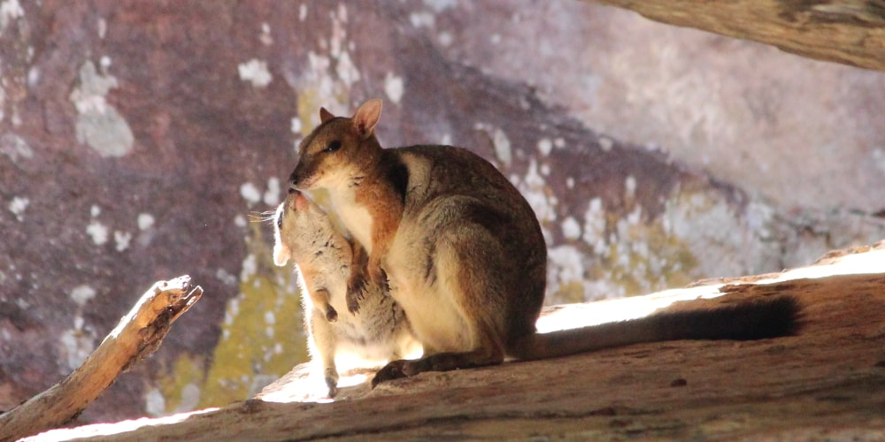 Cool rock wallaby baby kissing mother Australia