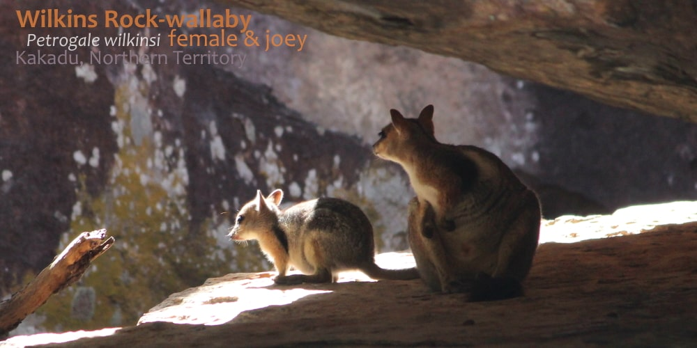 Cool rock wallabies in mother baby Australia