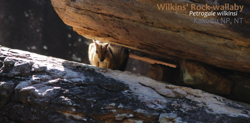 Wilkins Eastern Short-eared Rock-wallaby