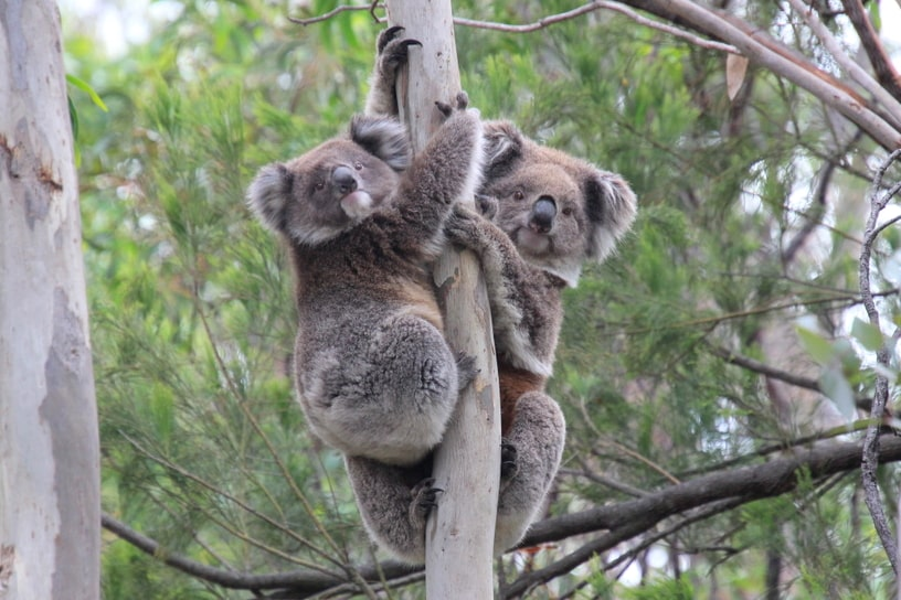 mother baby koalas Melbourne