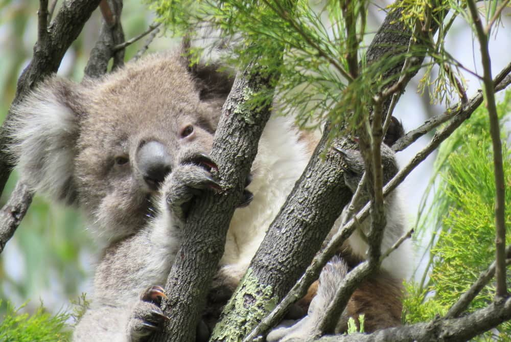baby koala recovery Melbourne