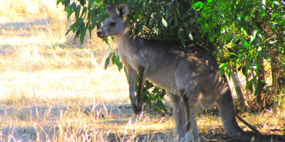 wild kangaroo tour review