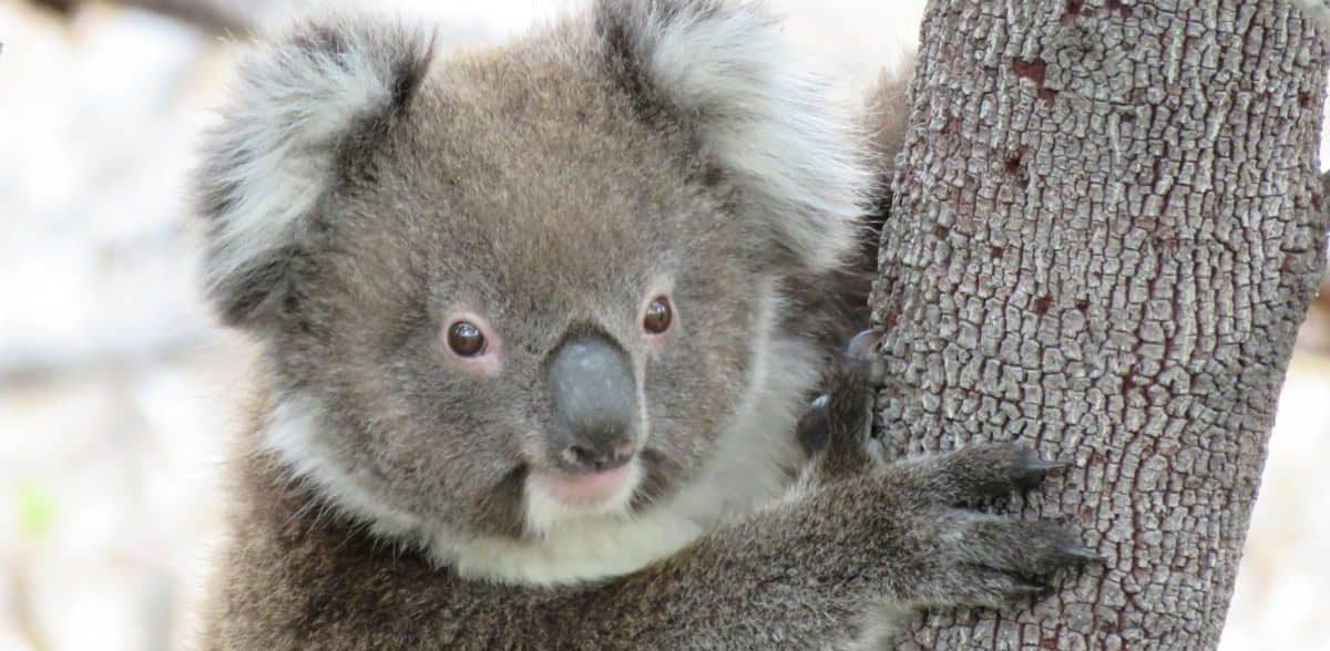 wild baby koala recovering