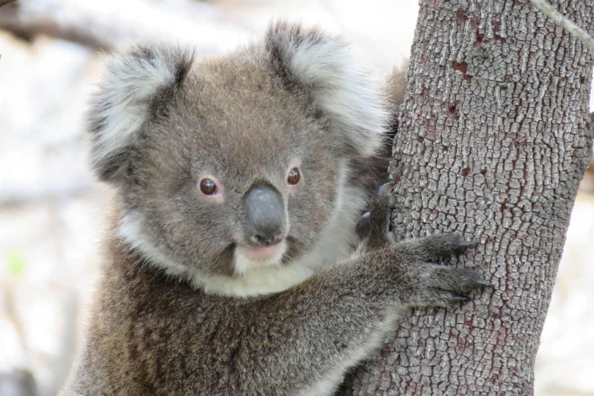 koala-MIMI-joey