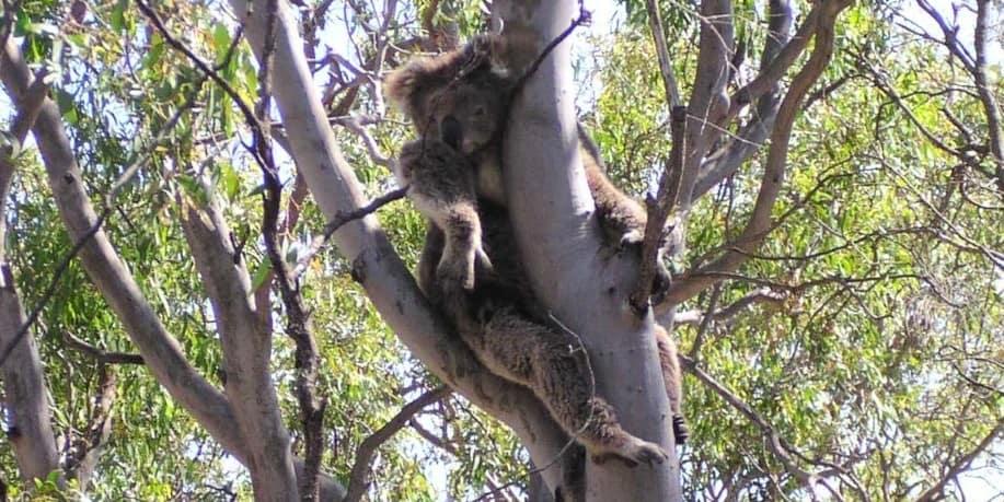 wild koala melbourne