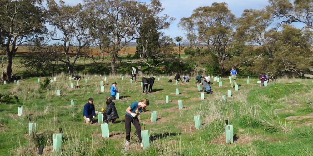 koala tree planting experience