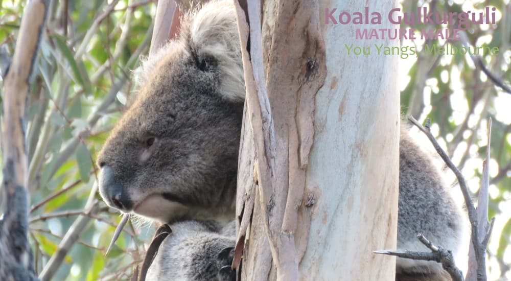 koalas see hear smell everything