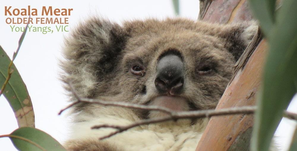 koala personality snob disdainful