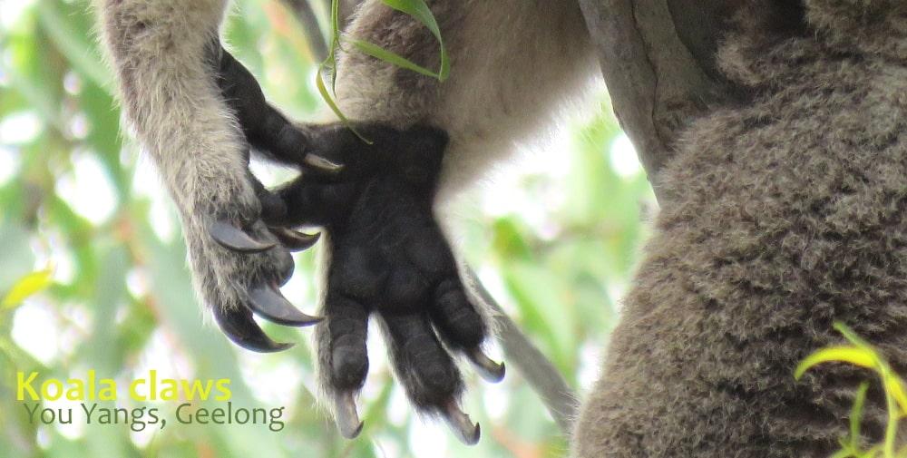 koala claws are sharp