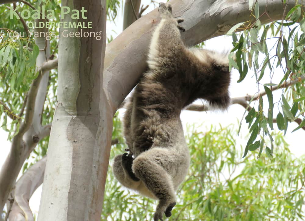 Koala grooming whilst hanging on with hands only