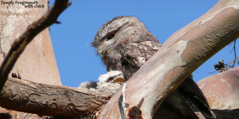 Tawny Frogmouth father on nest