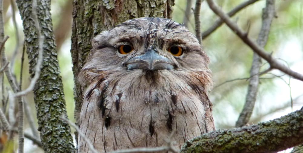 5 Amazing Facts: Tawny Frogmouth Behaviour
