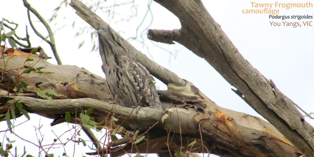 Tawny Frogmouth disguise