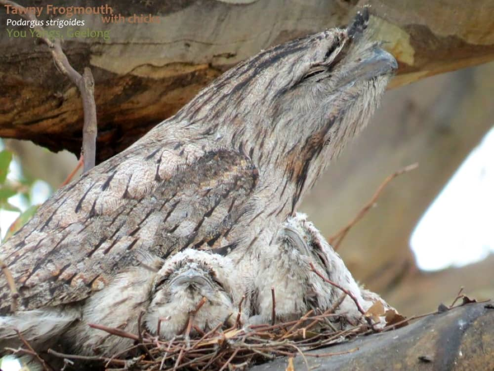 Tawny Frogmouth nesting behaviour