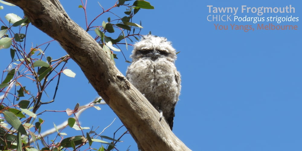 Tawny Frogmouth chick exposed branch