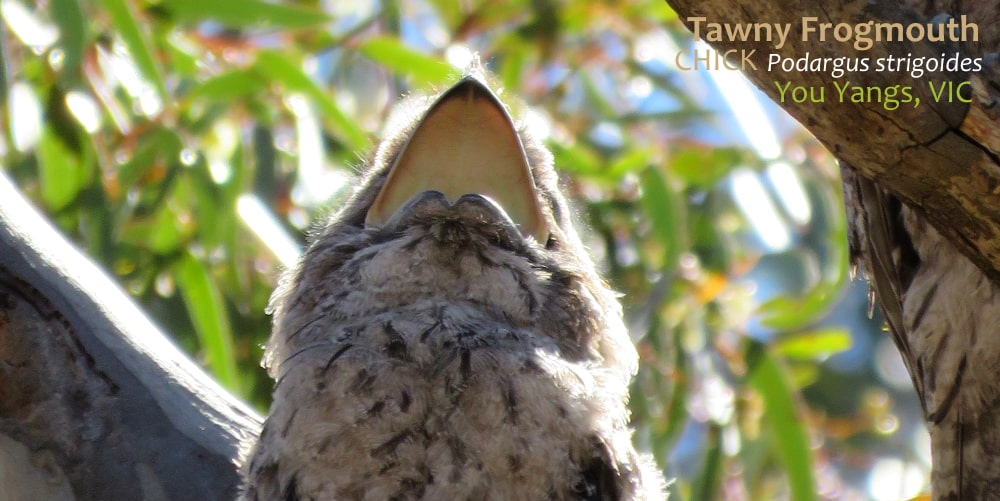 Tawny Frogmouth vocalising beak open