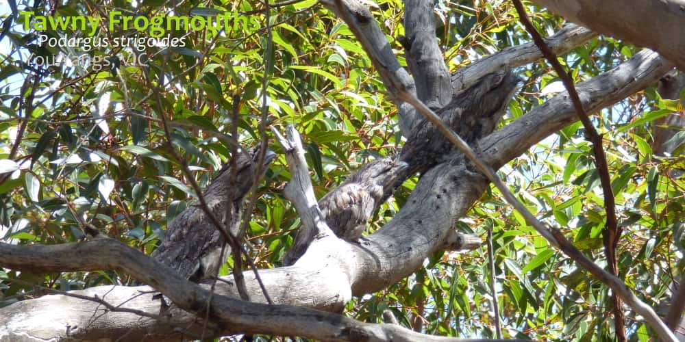 Tawny Frogmouth behaviour use of dead branch