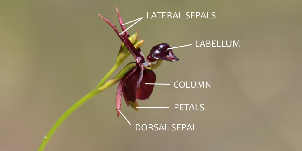 Flying Duck Orchid flower structure