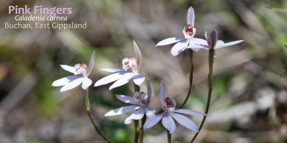 caladenia orchids of east gippsland