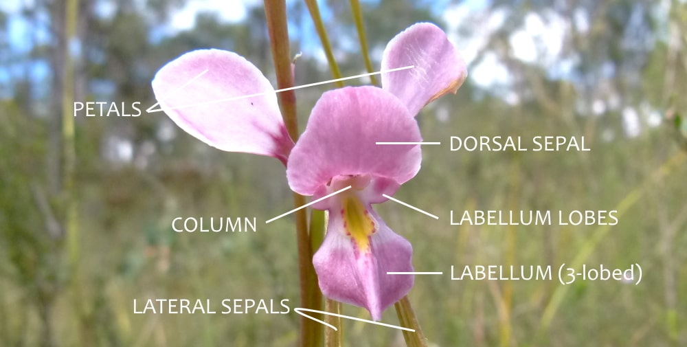 diuris flower structure labelled east gippsland