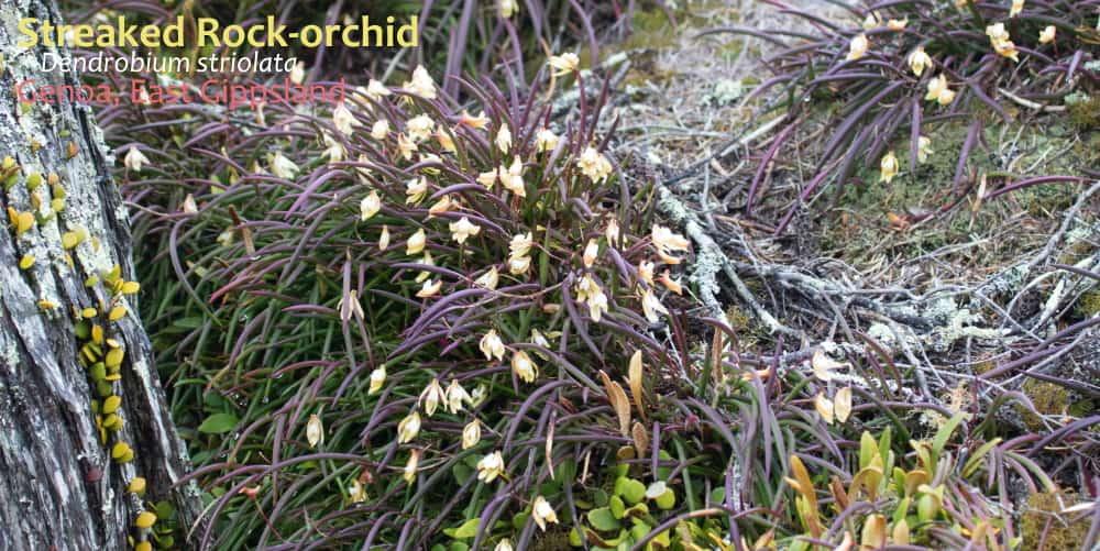 Dendrobium striolata Genoa