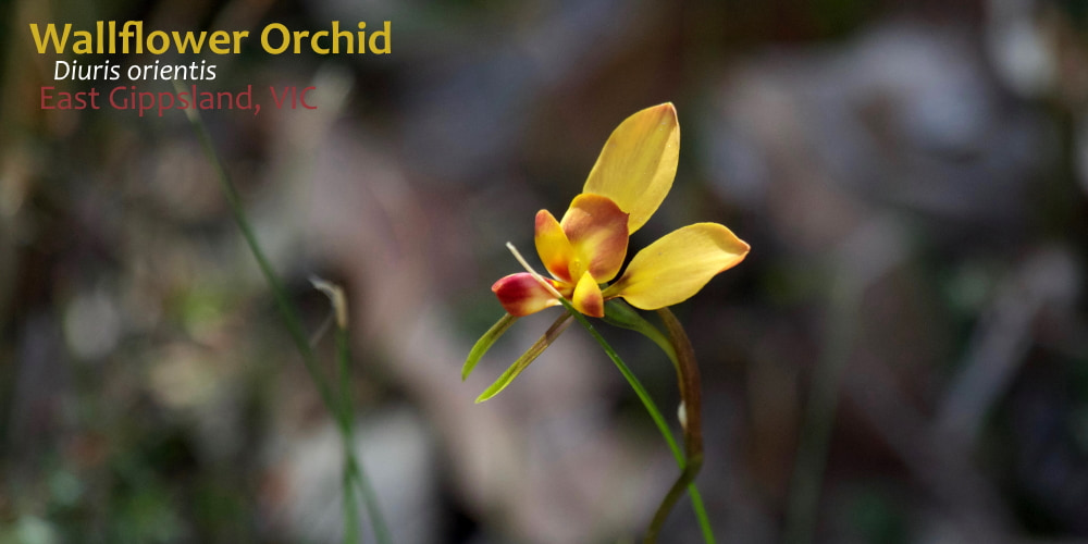 Wallflower Orchid yellow