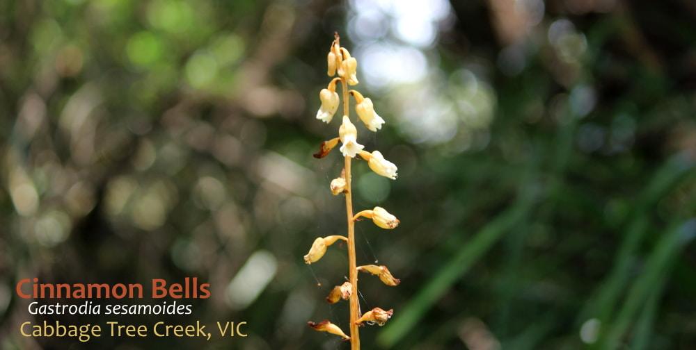 Cinnamon Bells orchid saprophyte East Gippsland