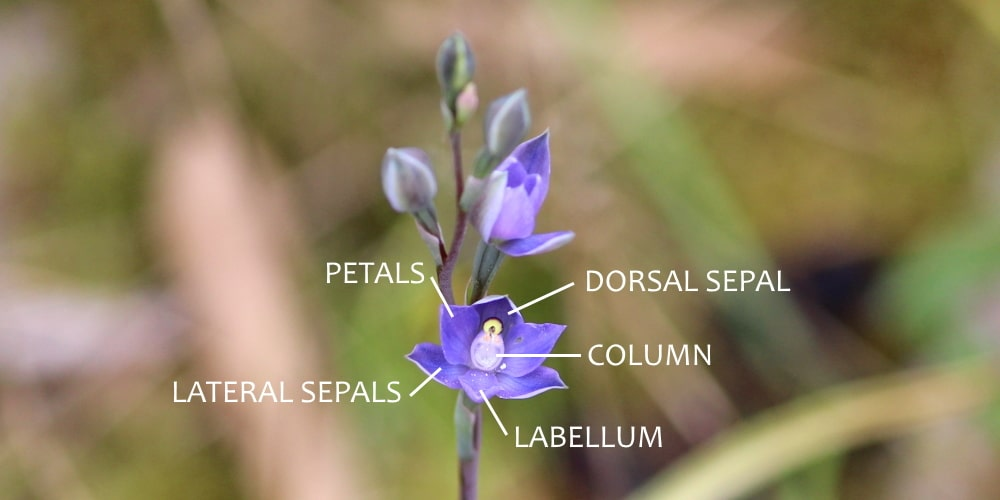 thelymitra sun orchid flower parts sepals column