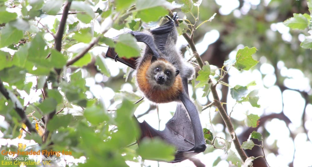 Grey-headed Flying Fox looking at camera