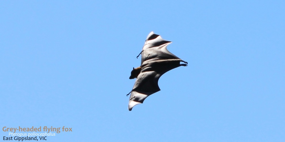Grey-headed Flying-fox flying daytime
