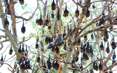 6 Interesting Facts about Australian Flying-fox Bats