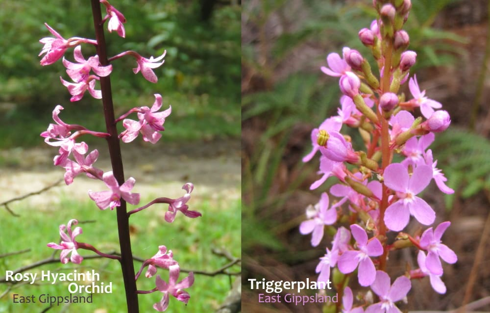 compare Hyacinth Orchid with triggerplant