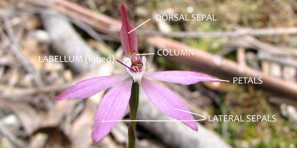 caladenia orchid perianth labelled east gippsland