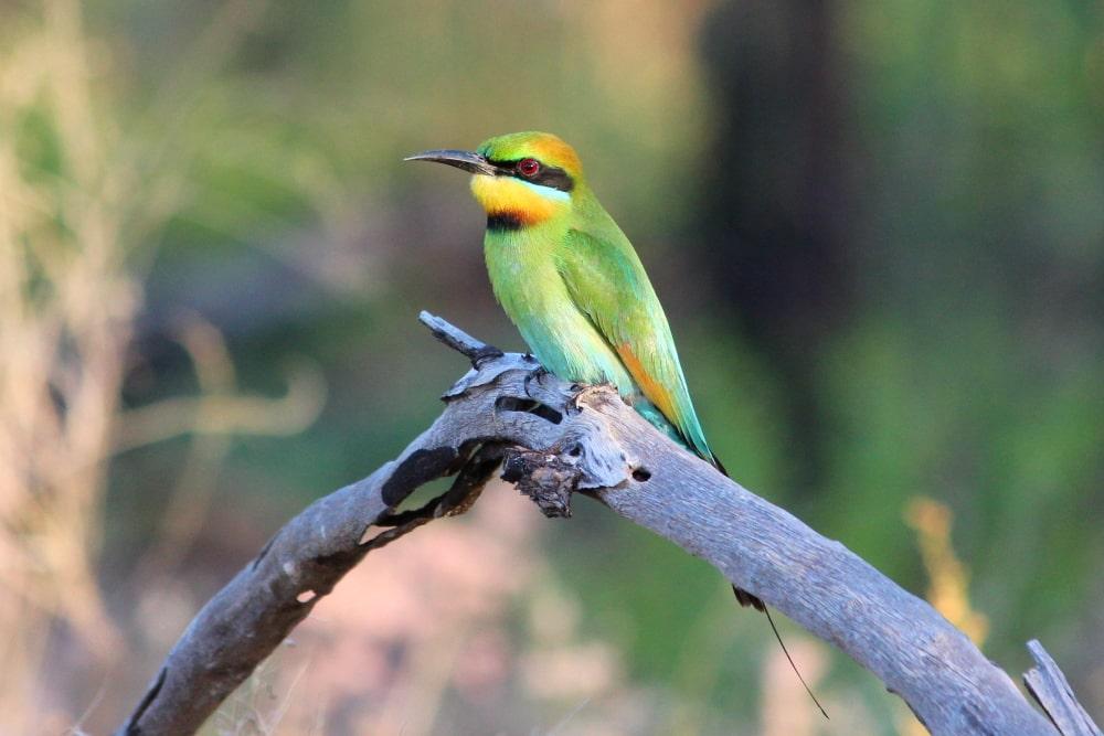 rainbow-bee-eater-kakadu-310719p03