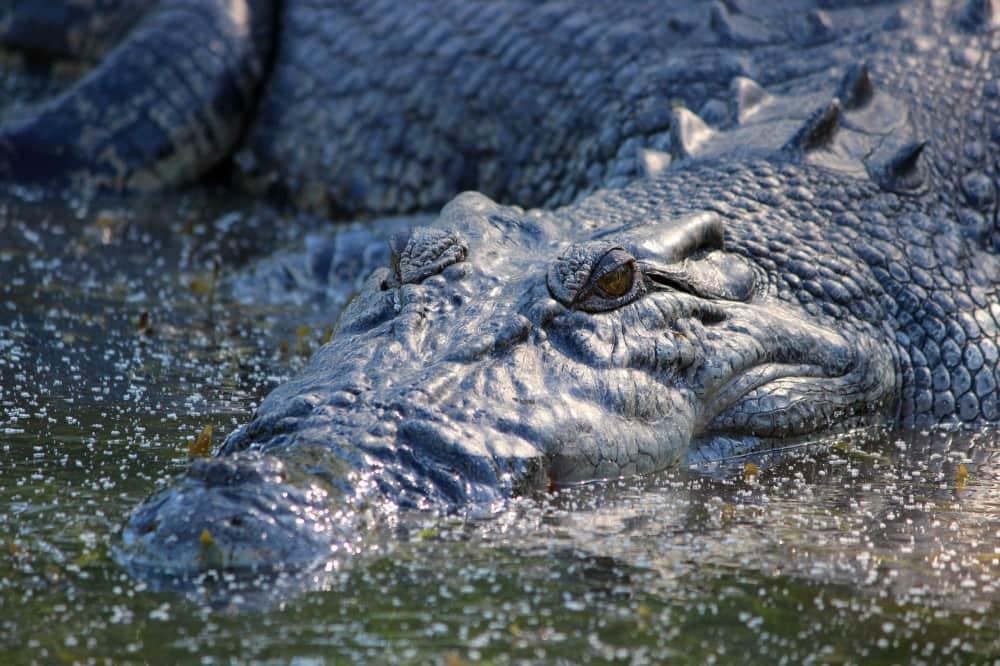 saltwater-crocodile-east-alligator-river-020819p01