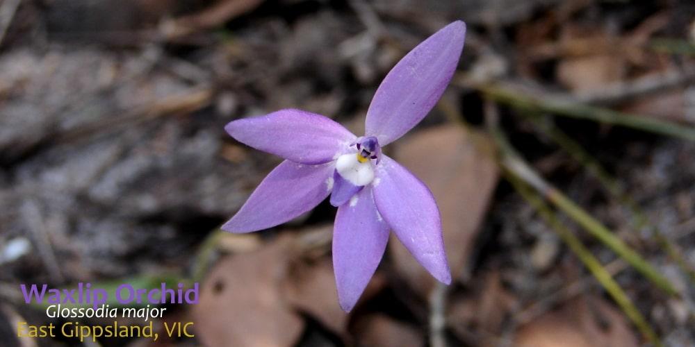Waxlip Orchid flower