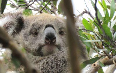 About Koala KiKi