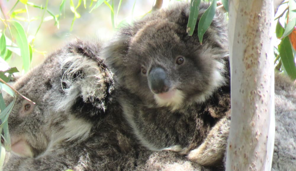 male koala joey on mothers back