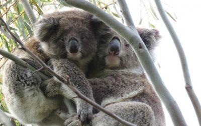 About Koala Mimi