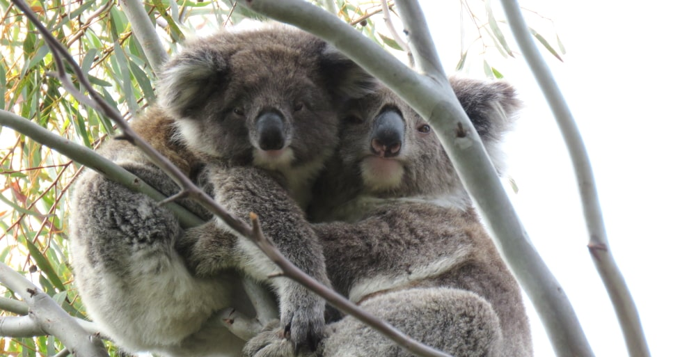 male koala joey with mother