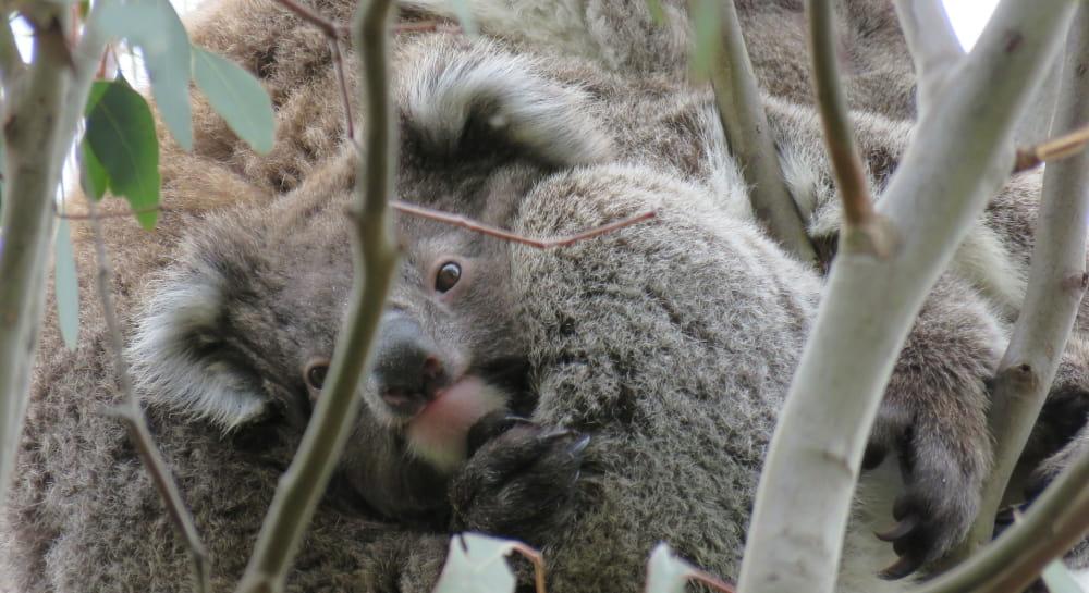 3 generations koala family