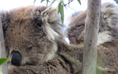 About Koala Winjku