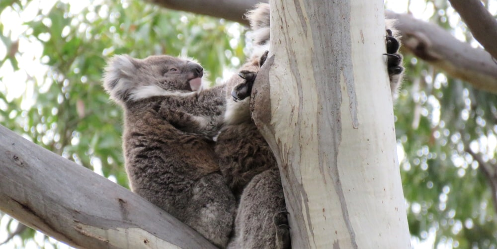 wild koala joey on mothers back
