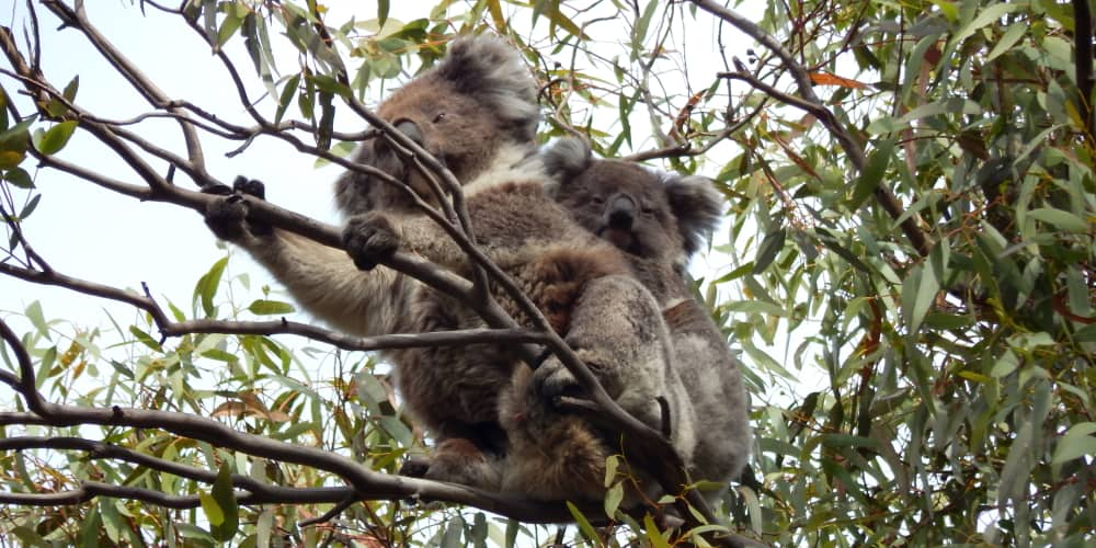 koala mother joey on back