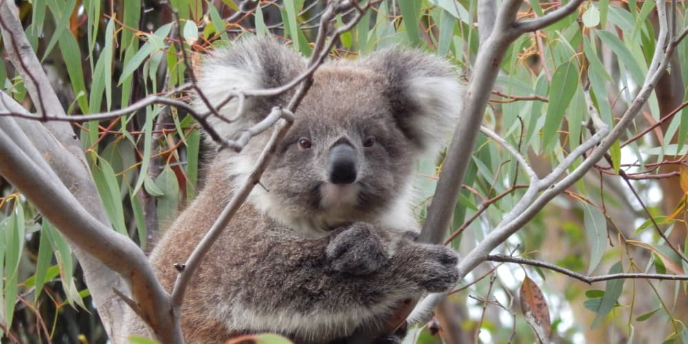 11 month old female koala joey