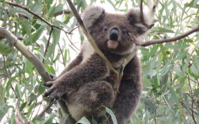 About Koala Yeera